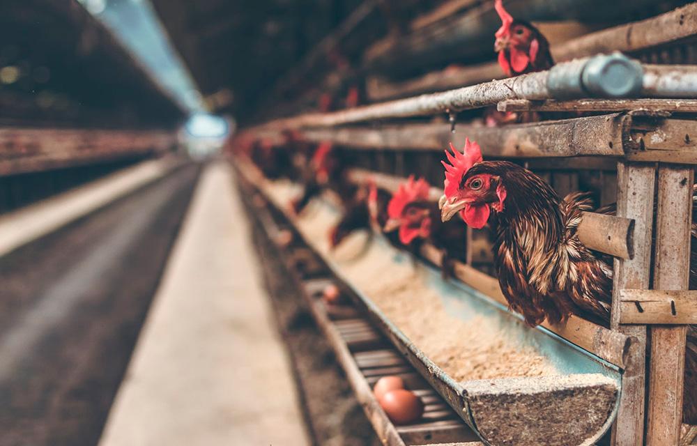 Dicas sustentáveis sobre consumo de carne animal - 60 mais