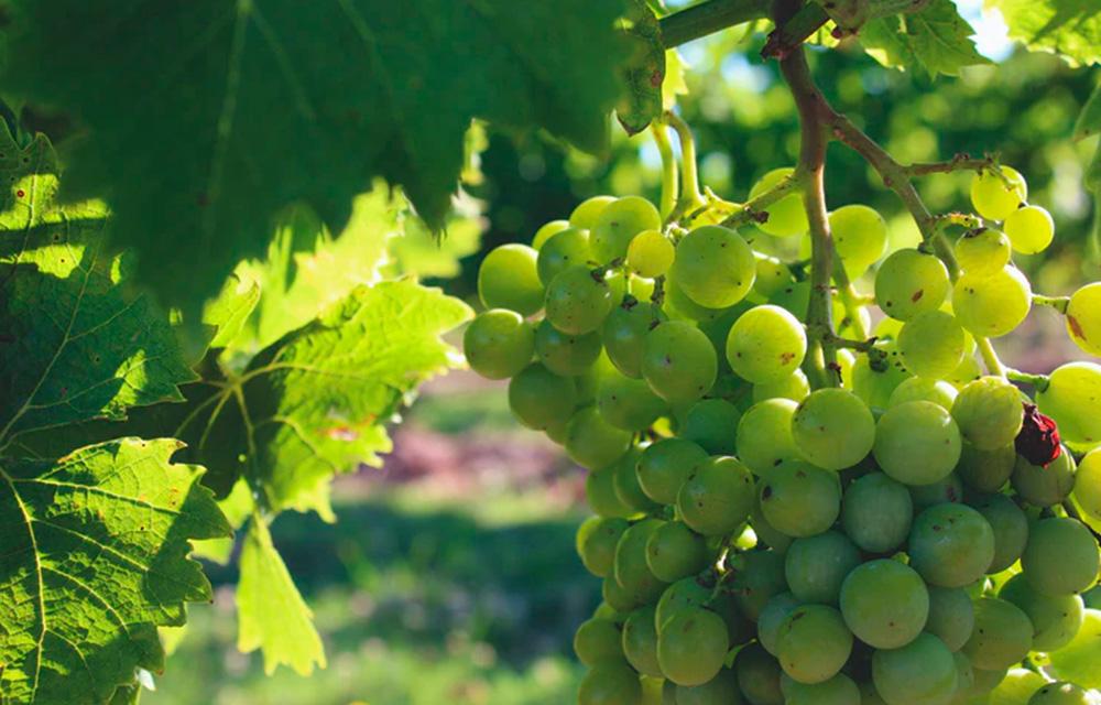 Vinhos sul-americanos Carmelo Uruguai - 60 mais